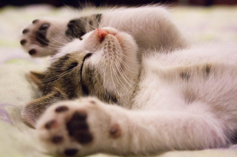 Yavru Kedi Maması Tavsiyesi