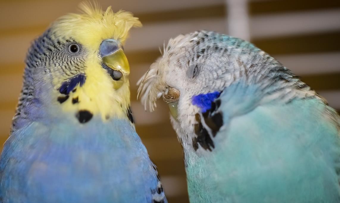 muhabbet kuşu türleri