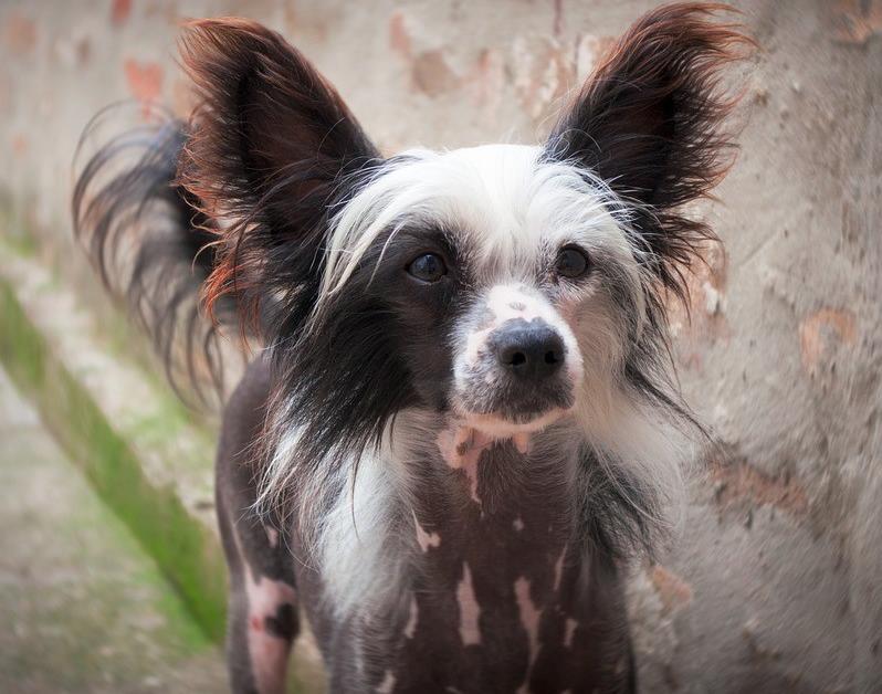 Tüy dökmeyen köpek ırkları- Tüysüz Çin Köpeği