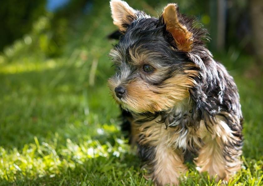 Tüy dökmeyen köpek çeşitleri - Yorkshire Terrier