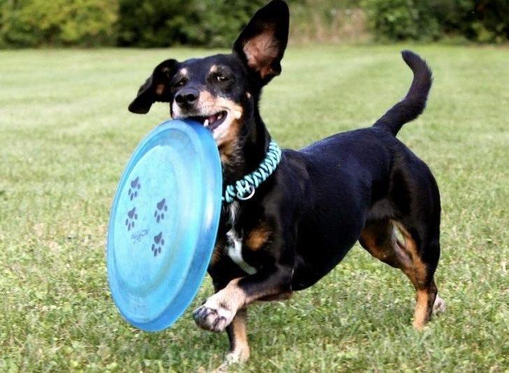 fazla büyümeyen köpek cinsleri - Dachshund