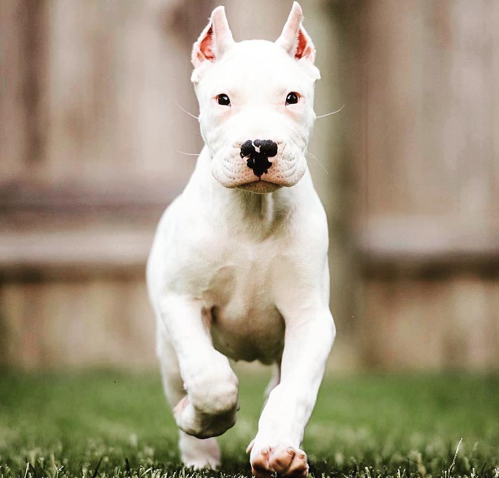 Dogo Argentino Özellikleri