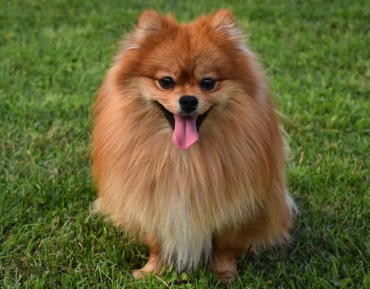 pomeranian ırkı köpeklerin genetik hastalıkları