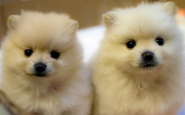 pomeranian ırkı köpeklerin genetik hastalıkları-2