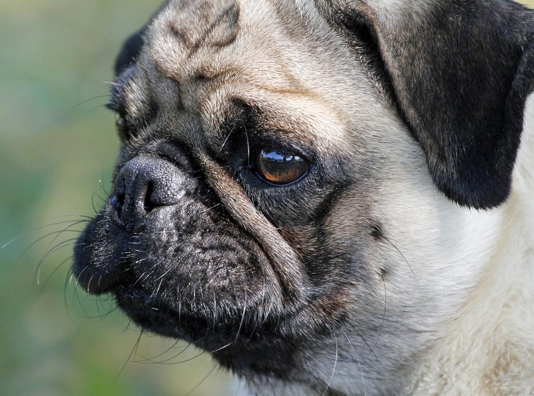 pug köpek ırkı ve özellikleri 2