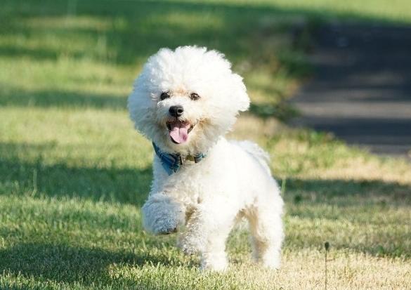 Süs köpeği cinsleri- Bichon Frize