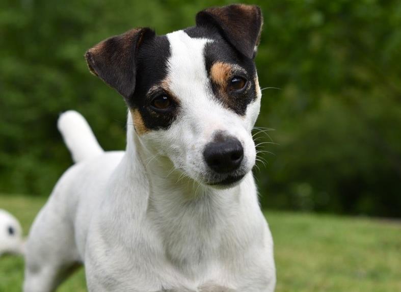 küçük köpek cinsleri - Jack Russel Terrier