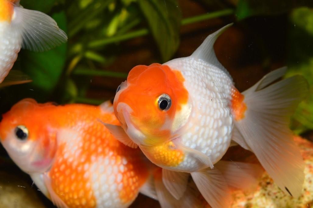 akvaryum balık türleri