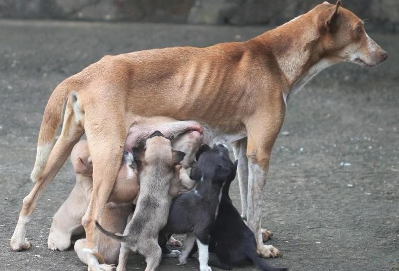 hamile köpek bakımı
