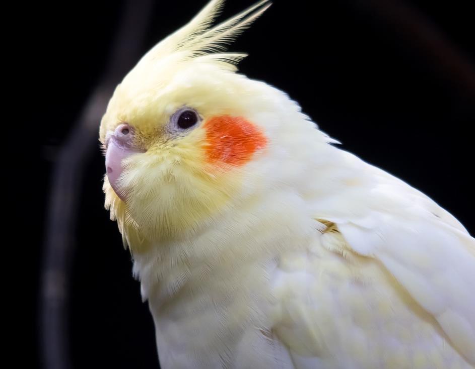 sultan papağanı türleri