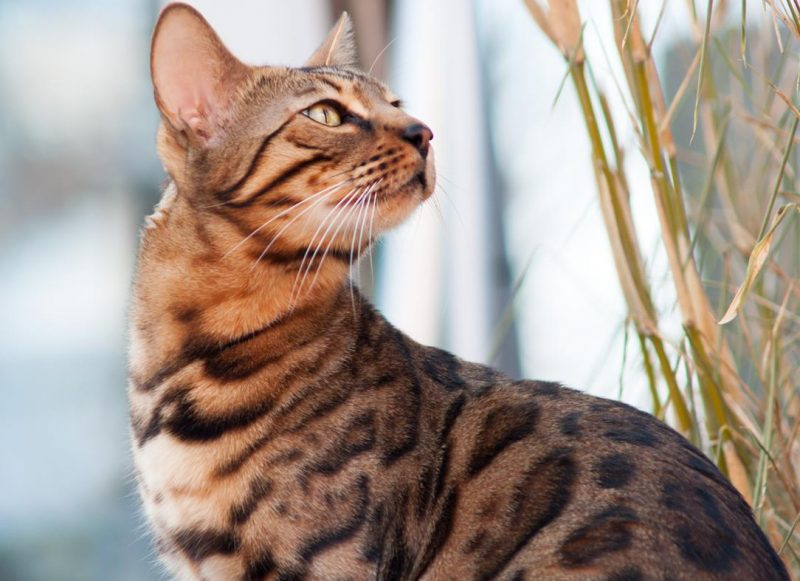 bengal kedisinin özellikleri
