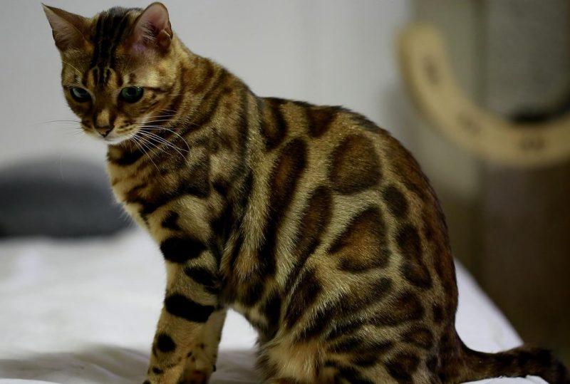 bengal kedi bakımı