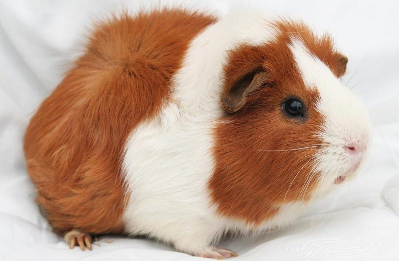 Guinea Pig Bakımı