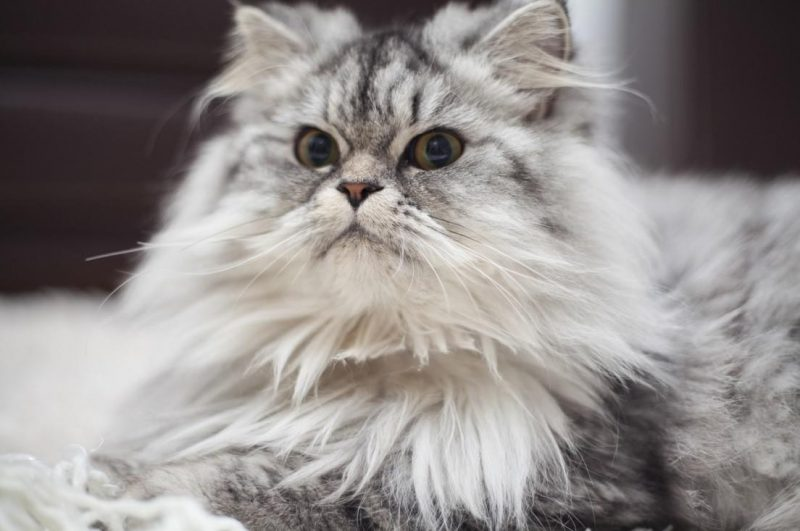 kedilerde tüy dökülmesi ve alınacak önlemler