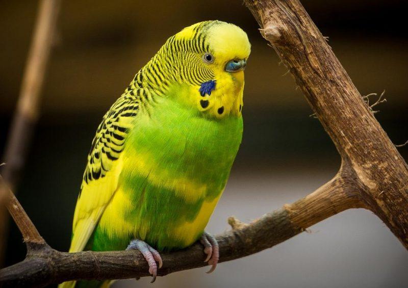 muhabbet kuşu tüneği
