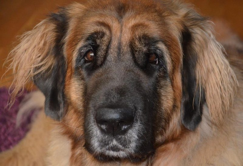 leonberger ırkı köpekler ve özellikleri