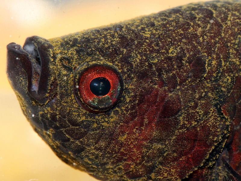 balıklarda kadife hastalığı ve nedenleri