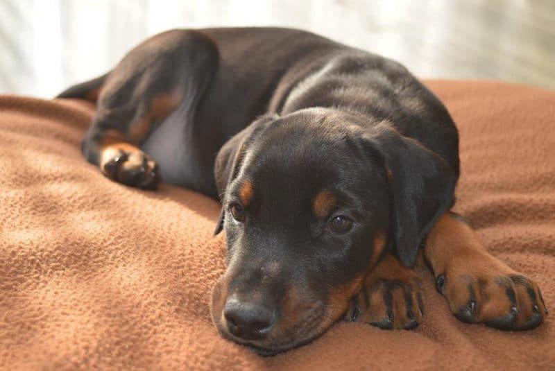 Doberman köpek cinsi bakımı ve özellikleri