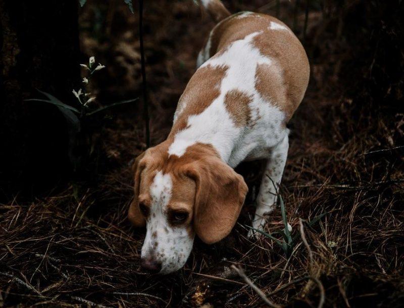 köpeklerde koku alma duyusu