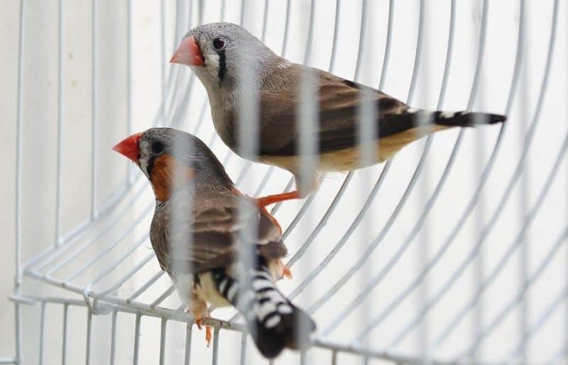 kuşlarda parazit sorunu