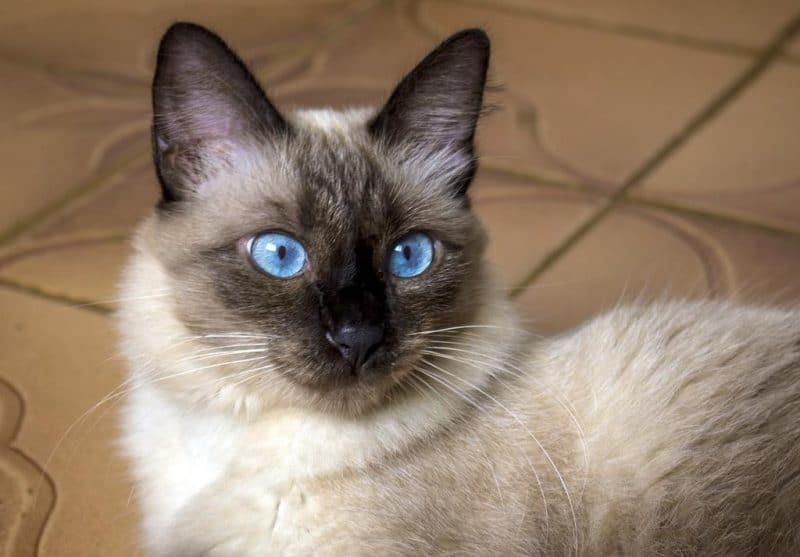 siyam kedi ırkı