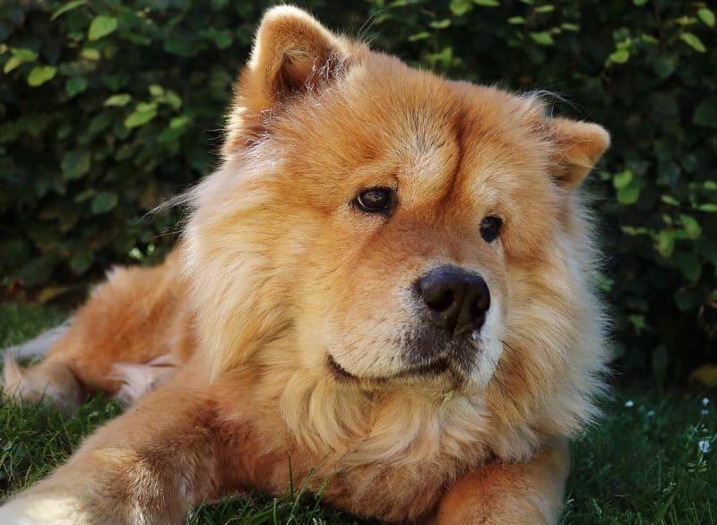 çov çov köpeği