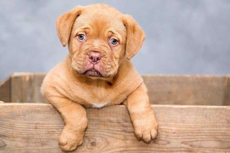 köpeklerde aşı ve aşılama takvimi
