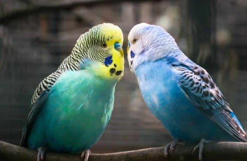 muhabbet kuşu hastalıkları