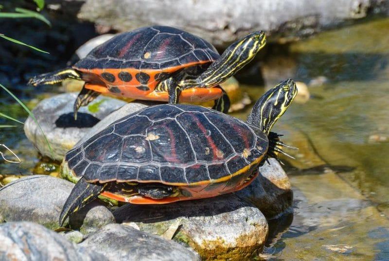 su kaplumbağalarında kış uykusu