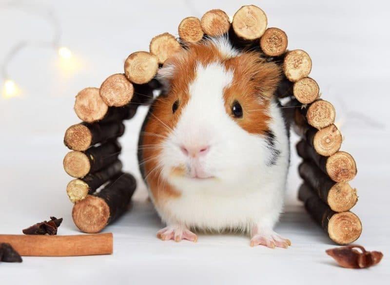 guinea pig bakımı ve yapılan hatalar