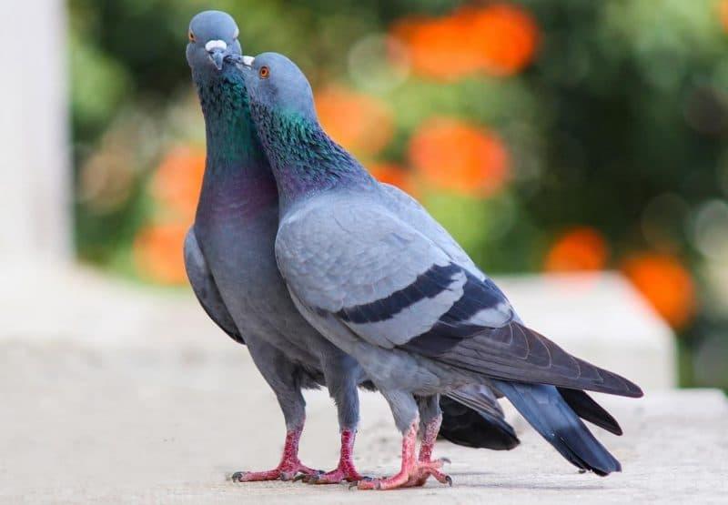güvercinler yönlerini nasıl bulur
