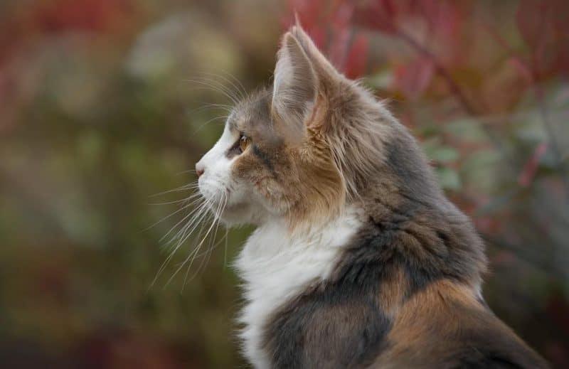 kedilerde kusma ve nedenleri