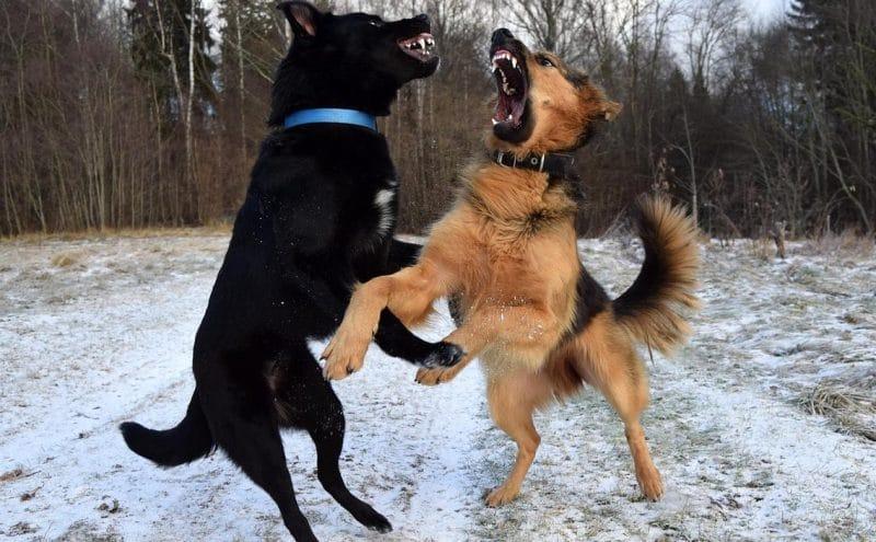 köpeklerde saldırganlık