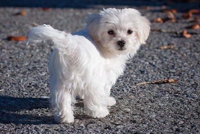 maltichon köpek ırkının özellikleri