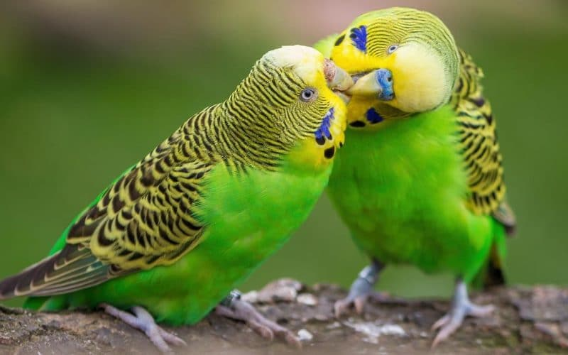 Muhabbet kuşlarının konuşması nasıl olur