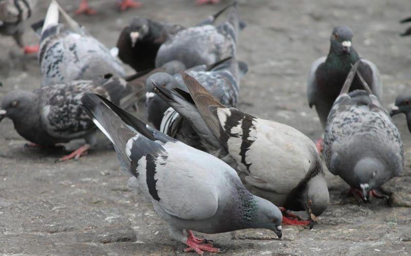 güvercin beslemek