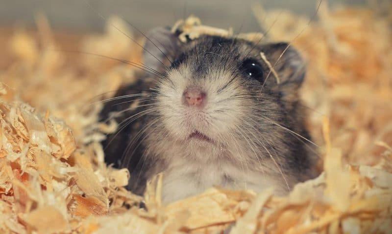 Hamster eğitimi nasıl yapılır