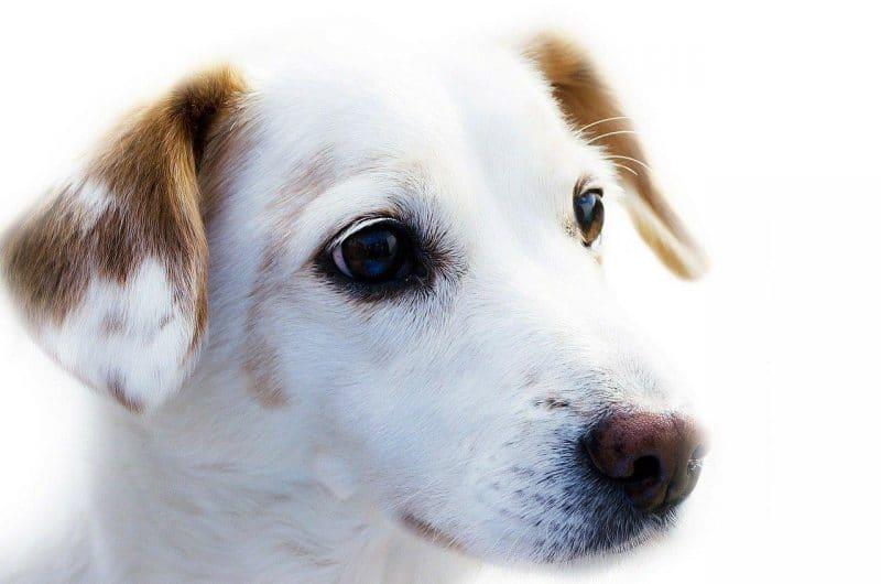 köpek gençlik hastalığı nedir