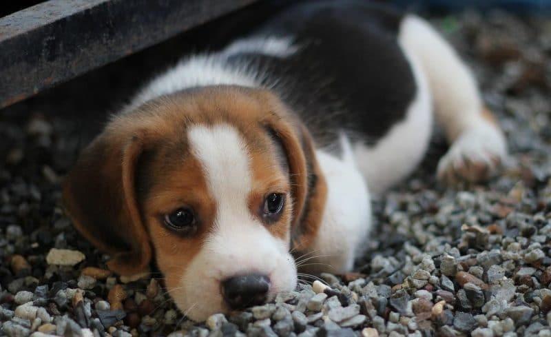 köpek gençlik hastalığı