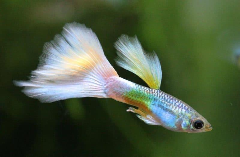 lepistes balığı hakkında