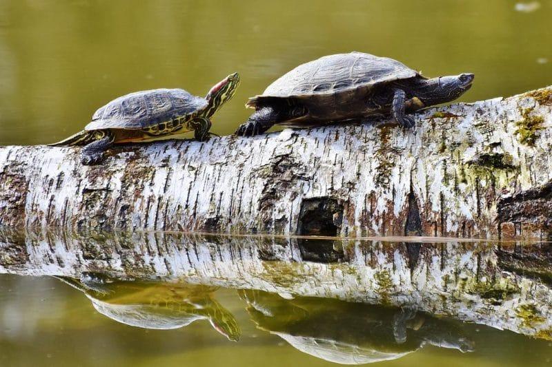 su kaplumbağası türleri
