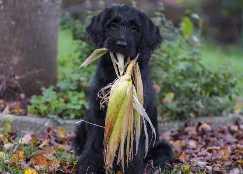 köpeklerde besin zehirlenmesi