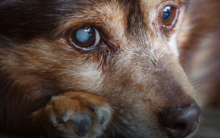köpeklerde katarakt tedavisi