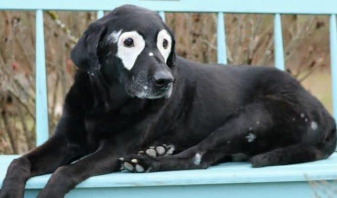 köpeklerde vitiligo