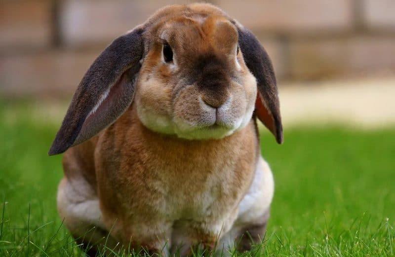 tavşanlarda agresiflik sorunu