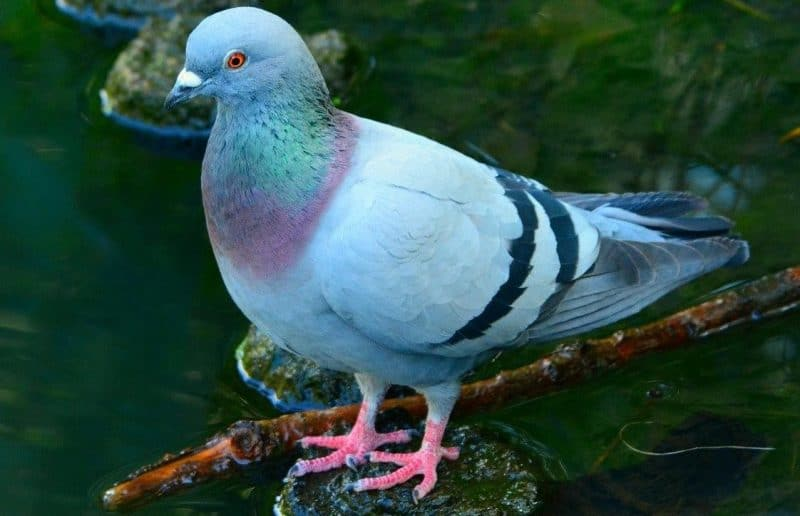 Türkiyede görülen güvercin türleri