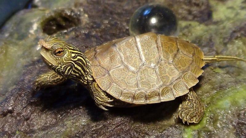 kaplumbağa bakımında dikkat edilecek konular