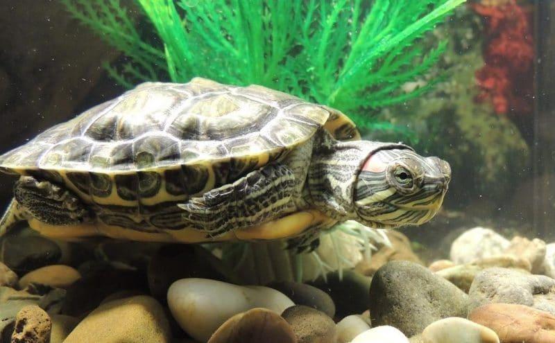 kaplumbağa bakımında dikkat edilecekler