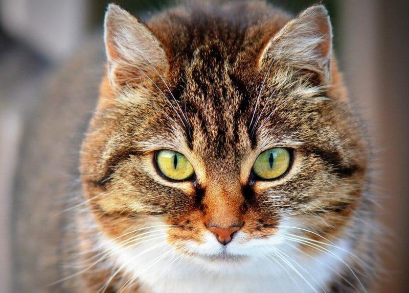 Kedilerde korona virüs enfeksiyonu
