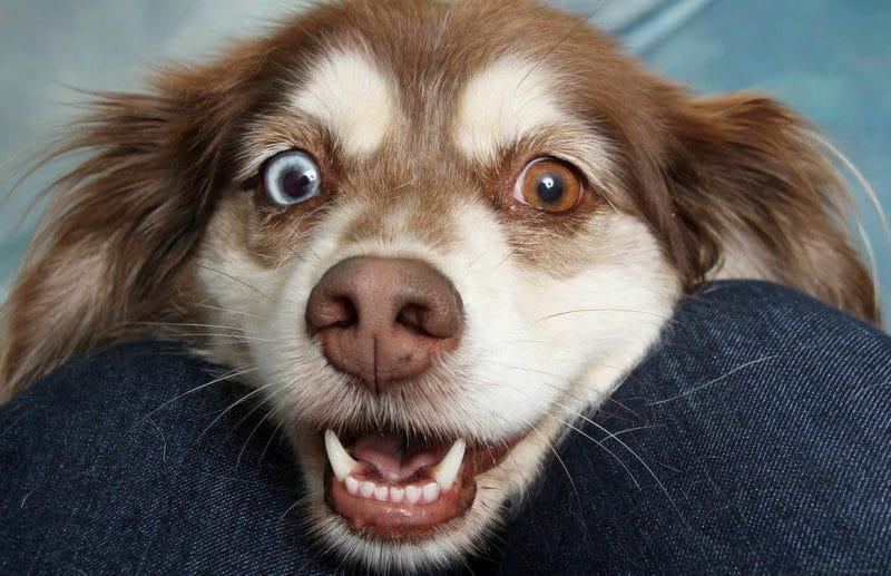 köpeklerde şaşılık (strabismus)